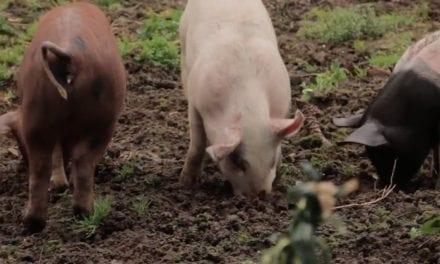 Kleine varkens die moestuin voorbereiden op nieuw seizoen
